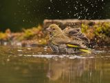 Greenfinch in the Bath by Graham HILTON LRPS