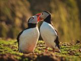 Puffins Billing by Graham HILTON LRPS
