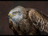 Red Kite by Tony BOWER