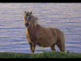Wild Welsh Pony by Vivian BATH