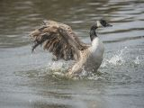 Canada Goose Having a Wash by Ove ALEXANDER, CPAGB