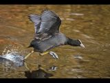 Coot Attack by Graham HILTON, LRPS