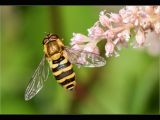 Hover Fly on Astilbe blossom by Charlie SAYCELL
