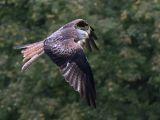 Red Kite Feeding by Trevor LOWES