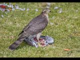 Sparrowhawk with Pigeon by Ove Alexander, CPAGB