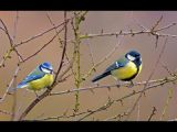 Blue Tit & Great Tit by Dave HASTINGS