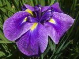 Iris by Vivian Bath