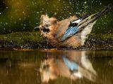 Jay Having a Splash by Graham Hilton