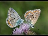 Male and Female Common Blue by Charlie Saycell