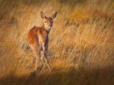 Red deer fawn by Dave Hastings