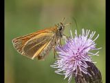 Small Skipper by Terry Ottway