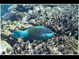 Swarthy Parrotfish by Ove Alexander