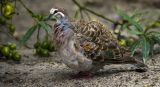 Common Bronzewing Feeding on Eucalyptus by Ove Alexander