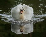 Swan with Bow Wave