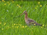 Black Tailed Godwit in Buttercup Meadow by Graham HILTON