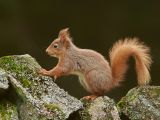 Red Squirrel on Old Stone Wall by Graham HILTON LRPS