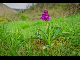 Early Purple Orchid in Monk's Dale by Dave HASTINGS