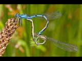Common Blue Damselflies Mating by Terry OTTWAY