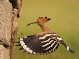 Hoopoe with Food for the Nest by Graham HILTON, LRPS