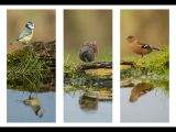 Songbird Reflections by Ove ALEXANDER, CPAGB