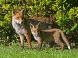 Vixen and Cub by Keith NUTTALL