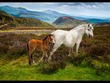 Wild Ponies, Shropshire Hills by Trevor LOWES
