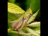 Common Green Grasshopper by Terry OTTWAY