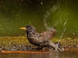 Starling Having a Bath by Graham HILTON LRPS
