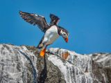 Puffin taking flight by Dave HASTINGS