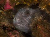 Atlantic Wolffish (Anarhichas lupus) by Paul Webster