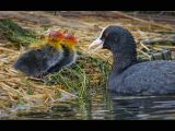 Coot chicks with mother by Dave Hastings