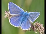 Common Blue by Terry Ottway