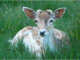 Deer by Pat Wentworth