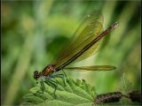 Female Beautiful Damoiselle by Charlie Saycell