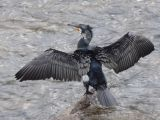 Cormorant Stretching Wings by Pat Wentworth