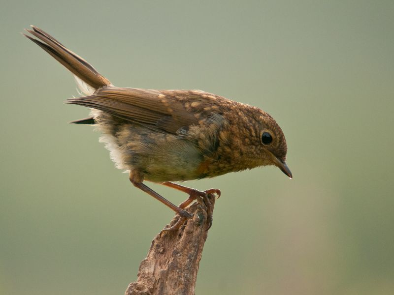 Juvenile Robin (Erathicus Rubecula) Sipping Morning Dew by Ove ALEXANDER CPAGB