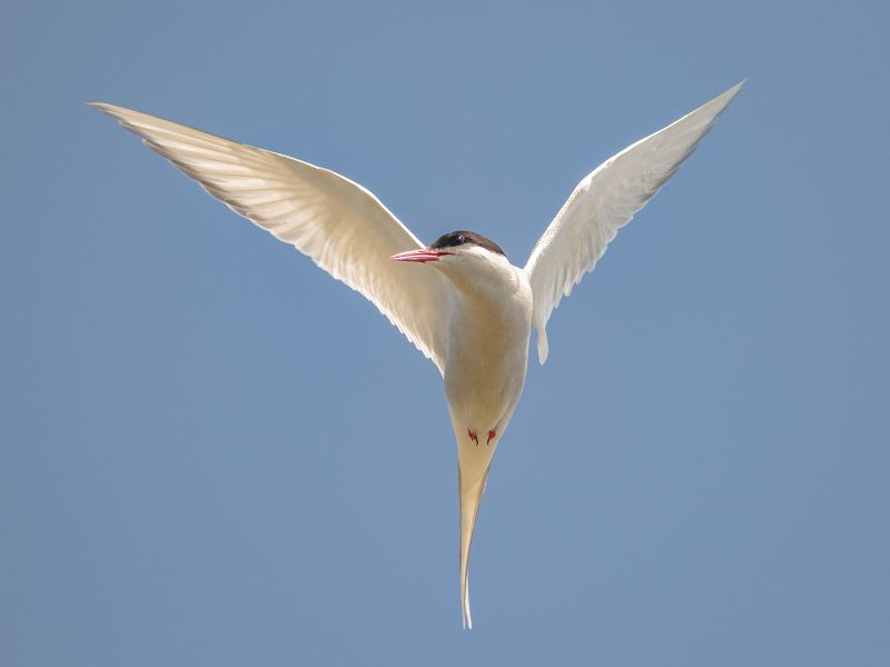 Arctic Tern by Graham Hilton