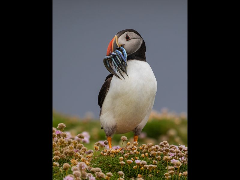 Puffin with Sand Eels by Graham Hilton