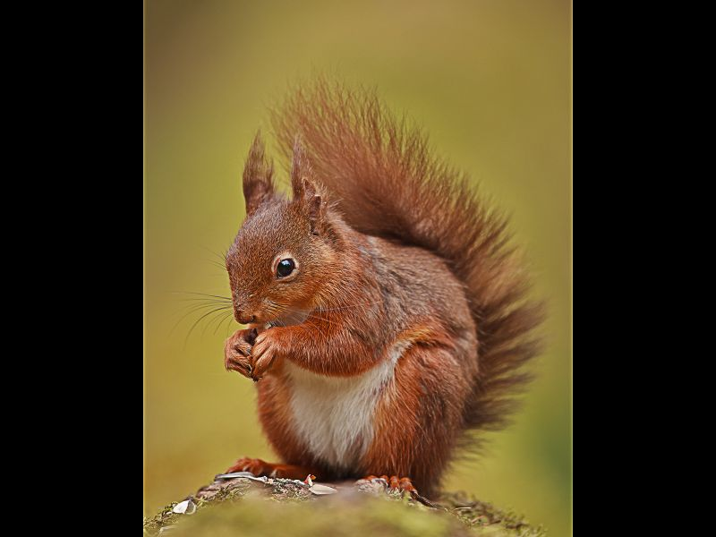 Red Squirrel by Graham Hilton