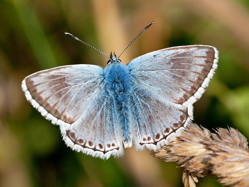 Male Chalk-hill Blue by Terry OTTWAY