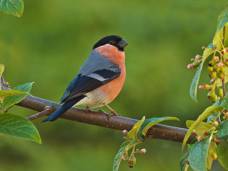 Bullfinch by Graham HILTON LRPS