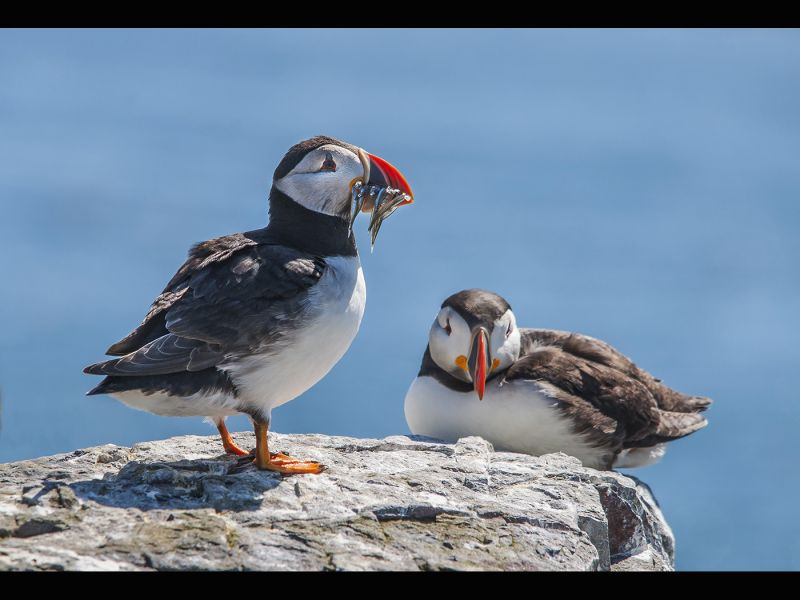 Puffin with sand eels by Dave HASTINGS
